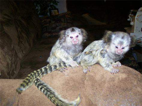 Monkeys For Sale in Sioux Falls South Dakota Craigslist Classifieds